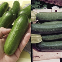 Cucumber & Courgette 6 Plants