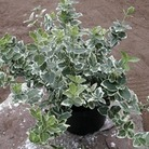 Euonymus Emerald Gaiety 1 Plant 9cm Pot