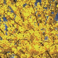 Forsythia Mini Gold 1 Plant 9cm Pot