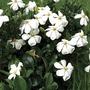 Gardenia Kleims Hardy 1 Plant 9cm Pot