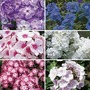 Phlox Collection 6 Jumbo Ready Plants