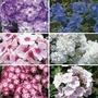 Phlox Collection 6 Jumbo Ready Plants