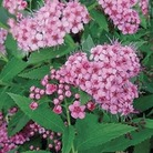 Spirea Little Princess 1 Plant 9cm Pot