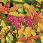 Spirea Goldflame 1 Plant 9cm Pot