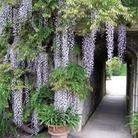 Wisteria Purple Falls 1 Plant 9cm Pot