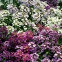 Alyssum Dilly Dilly 50 Plants + 20 FREE
