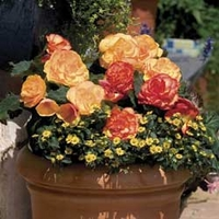 Begonia Amber Delight 100 Plants + 60 FREE