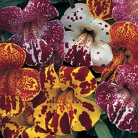 Mimulus Masterpiece 100 Plants + 60 FREE