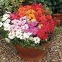 Portulaca Sunnyside 50 Plants + 20 FREE
