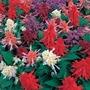 Salvia Sizzler 50 Plants + 20 FREE