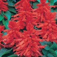 Salvia Desert Fire 100 Plants + 60 FREE