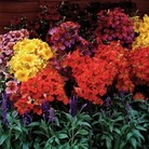 Salpiglossis Regale 50 Plants +20 FREE