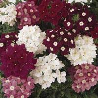 Verbena Glory Days 100 Plants + 60 FREE