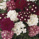Verbena Glory Days 100 Plants + 60 FREE