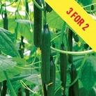 Cucumber Supremo Mini & Tasty F1 3 Plants 9cm Pot