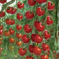 Tomato Supremo Cherry Red 1 Plant