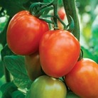 Tomato Supremo Plum Red 1 Plant