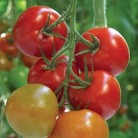 Tomato Supremo Tasty Red 1 Plant