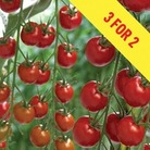 Tomato Supremo Cherry Red 3 Plants 9cm Pot