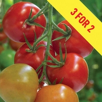 Tomato Supremo Tasty Red 3 Plants 9cm Pot