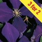 Clematis Jackmanii 1 Plant 7cm Pot