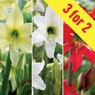 Hippeastrum Collection 3 Bulbs