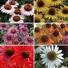 Echinacea (Single Cone) Collection 6 Jumbo Ready Plants