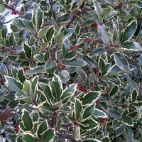 Ilex altaclerensis Golden King (Holly) 1 Plant 9cm Pot