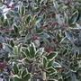 Ilex altaclerensis Golden King (Holly) 1 Plant