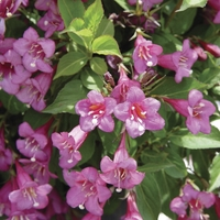 Weigela Florida Rumba 1 Plant 9cm Pot