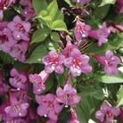 Weigela Florida Rumba 1 Plant 9cm Pot