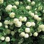 Viburnum opulus compactum 1 Plant 9cm Pot