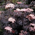 Sambucus nigra Black Lace 1 Plant 9cm Pot