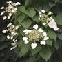 Hydrangea anomala petiolaris (Climbing Hydrangea) 1 Plant 9cm Pot