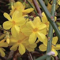 Jasminum nudiflorum (Winter Jasmine) 1 Plant 9cm Pot