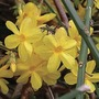 Jasminum nudiflorum (Winter Jasmine) 1 Plant