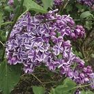 Syringa vulgaris Sensation (Lilac) 1 Plant 9cm Pot