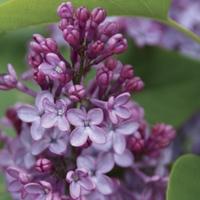 Syringa vulgaris Amethyst (Lilac) 1 Plant 9cm Pot