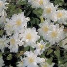 Clematis Sylvia Denny 1 Plant 7cm Pot