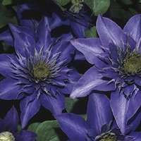 Clematis Multi Blue 1 Plant 7cm Pot