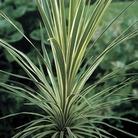 Cordyline Torbay Dazzler 1 Plant 3 Litre
