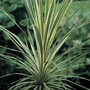 Cordyline Torbay Dazzler 3 litre 1 plant