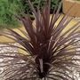 Cordyline Red Star 1 Plant 3 Litre