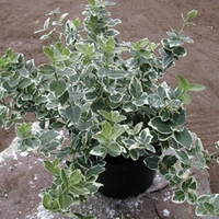 Euonymus Emerald Gaiety 1 Plant 3 Litre
