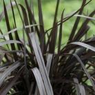 Phormium Back in Black 1 Plant 3 Litre