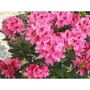 Rhododendron Cosmopolitan Pink 3 Litre 1 Plant