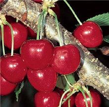 Cherry 'Stella' - Fruit Tree