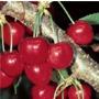 Cherry 'Stella' - Fruit Tree