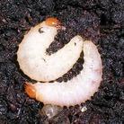 Vine Weevil Killer Summer - Heterohabditis