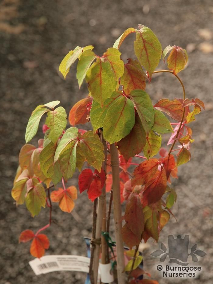 PARTHENOCISSUS himalayana